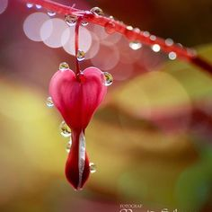 Nature is pure magic. Bleeding Heart Flower, Bleeding Hearts, Fotografia Macro, Bokeh Photography, Macro Flower, Water Art, Dew Drops, Foto Art, Belle Photo