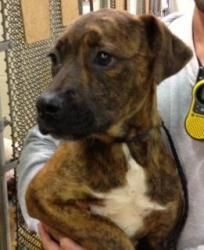 River is an adoptable Pit Bull Terrier Dog in Douglasville, GA.  ...