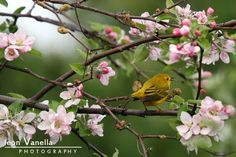 Yellow warbler framed by spring blossoms. I was there for osprey, but took time to follow this little golden bird around until it stopped for a moment with this vibrant backdrop. Damraiscotta Mills, Maine.