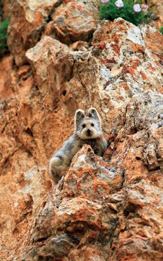 One of very few images of the camera-shy Chinese Ili pika. -- SierraClub, Green Life, 5-3-16