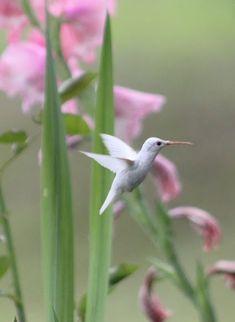 A white hummingbird for my white flowers! ~~Albino Hummingbird by Karen Saxton Pretty Birds, Beautiful Birds, Animals Beautiful, Cute Animals, Beautiful Scenery, Funny Animals, All Birds, Little Birds, Love Birds