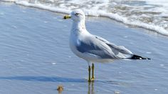Banded Gull, Sailfish point