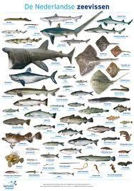 Dit zijn verschillende vis soorten die in de Nederlandse zee leven dit zijn er echt super veel ze worden ook heel veel gevangen  fien