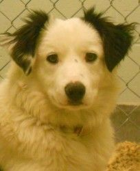 Buddy, 67336 is an adoptable Border Collie Dog in Pocatello, ID. Buddy is 8 months old. He's looking for a forever family to love him. He's a sweet dog. Our adoption fee of $100.00   tax. It includes ...