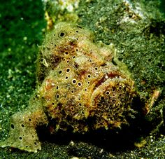 """The bizarre-looking frogfish spends most of its time on the ocean floor. It rarely swims, instead preferring to """"walk"""" with the help of its pelvic and pectoral fins!"""