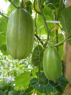 how to grow japanese eggplant in containers