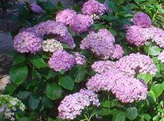 Fotos de jardines y plantas de sombra -hydrangea macrophylla
