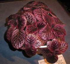 Episcia 'Pat's Favourite' exhibited at a meeting