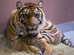 Sumatran tiger - Chelsea with cub summer 2011