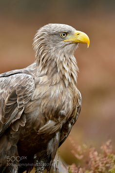 White-Tailed Eagle by erikmandre. Please Like http://fb.me/go4photos and Follow @go4fotos Thank You. :-)