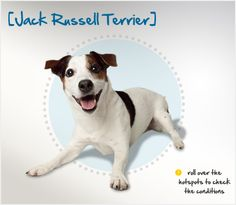 Did you know that Jack Russell Terrier breeders actually petitioned against AKC recognition because they did not want the Jack to lose its sporting nature? Read more about this breed by visiting Petplan pet insurance's Condition Checker! Jack Russell Dogs, Jack Russell Terrier, Beautiful Dog Breeds, Beautiful Dogs, Akc Breeds, Cutest Dog Ever, Mans Best Friend, Dog Life, Dog Pictures