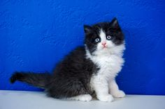 Ragdoll Kitten for Sale Near Me. We Have Outstanding Variety of Loving Ragdoll Kittens For Sale. Newborn Ragdoll Kittens and Adult Cats Munchkin Kittens For Sale, Kittens Near Me, Ragdoll Cats For Sale, Kitten For Sale, Cute Kittens, Cats And Kittens, Ragdoll Cat Breeders, Ragdoll Cattery, Ragamuffin Kittens