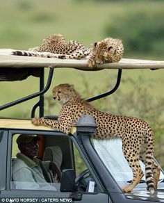 A family of cheetah's perched atop a Land Rover in Kenya's Masai Mara.