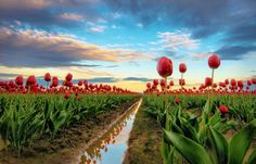 Tulips and Reflection - One of my shots from the Skagit Valley Tulip Festival, WA. Beautiful Places In The World, Beautiful Places To Visit, Beautiful Things, Amazing Photography, Nature Photography, Landscape Photography, Spring Images, Tulip Festival, Tulip Fields
