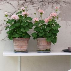 Søde blomster, have, havestue, pelargonier, lyse blomster, vintage sommer, krukker.