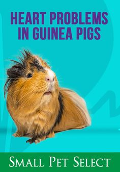 Does your cavy have heart problems? 💔 Unfortunately, the symptoms are vague and can be hard to diagnose. Heart conditions can't be cured, but medication can definitely help. The Truth About Heart Problems in Guinea Pigs Guinea Pig Care, Guinea Pigs, Pig Facts, Enlarged Heart, Heart Conditions, Skinny Pig, Disease Symptoms, Get Educated, Very Tired