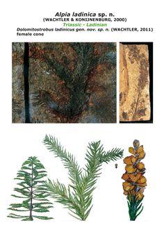 Le scoperte di Michael Wachtler conifera ladinica popolava le isole vulcaniche delle Dolomiti.