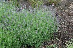 2. Lavandula Anguvstifolia Munstead 30- 1 gallon