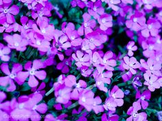 Purple flower garden