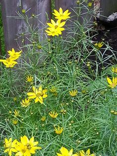 Coriopsis Garden, Plants, Garten, Lawn And Garden, Gardens, Plant, Gardening, Outdoor, Yard