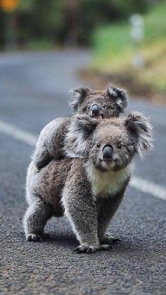 Cute Wild Animals, Super Cute Animals, Cute Funny Animals, Majestic Animals, Animals Beautiful, Nature Animals, Animals And Pets, Australian Animals, Fluffy Animals