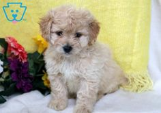 This super adorable Mini Poodle Mix puppy is looking for his happy place! He is a gorgeous puppy with a heart of gold. This one of a kind puppy will not Poodle Mix Puppies, Baby Puppies, Puppies For Sale, Cute Puppies, Cute Dogs, Dogs And Puppies, Fluffy Puppies, Doggies, Puppy Images