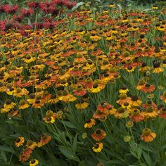 Helenium 'Sahin's Early Flowerer' | Perennial Resource Cut Flowers, Perennials, Landscape, Cape Cod, Plants, Gardens, Outdoor, Cod, Outdoors