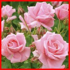 Размножение роз :: Энциклопедия роз