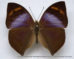 African leaf butterfly - This male leafwing butterfly was purchased by the Museum in 1971. When at rest with its wings closed, the butterfly resembles a dry leaf. This camouflage protects it from predators.
