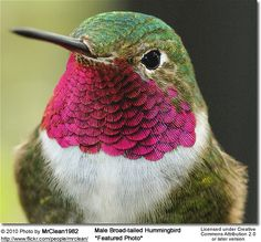 Male Broad-tailed Hummingbird (Archilochus colubris