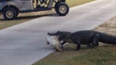 The gator was seen walking across the Seven Springs Golf and County Club in Trinity, Fla., carrying a whopper of a catch.
