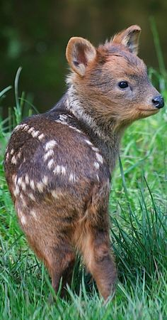 Day-old Pudu fawn (Bristol Zoo ~ South West England) ~ Pudu is the world's tiniest deer (32-44 cm. / 13-17 in. tall). They range in western South America, from Columbia to southern Chile. • http://en.wikipedia.org/wiki/Pudú • photo: Bristol Zoo • http://www.bristolzoo.org.uk/