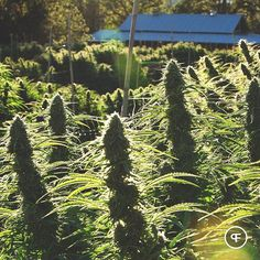 While we do enjoy this winter weather, we are eager to get back to work and make things happen for 2016. Photo circa 2015 pre-harvest.  #tbt #mightytastycannabis #phantomfarms #oregongrown #sungrown #organic #cannabis #marijuana #leafly #420photography #ommp