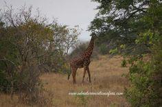 Giraffe at Murchison Falls National park, Uganda.