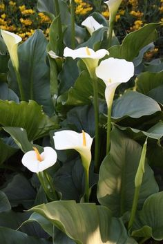 Swartberg Giant Calla Lily for sale buy Zantedeschia aethiopica 'Swartberg Giant' Calla Lily Flowers, Calla Lillies, White Flowers, Beautiful Flowers, Bog Garden, Cottage Garden Plants, African Plants, African Flowers, Zantedeschia Aethiopica