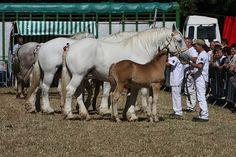 The breed - Syndicat Hippique Boulonnais