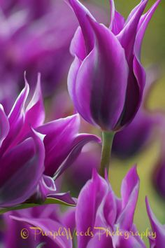 **Purple Tulips by Purple Woods Photography