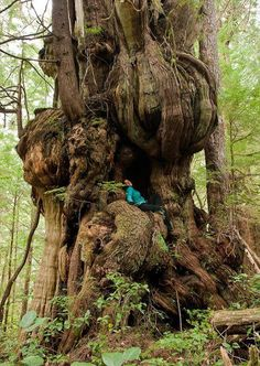 """Bulbus Cedar """"One of the most phenomenal trees on this planet! This alien like redcedar grows near the Cheewhat Cedar in Pacific Rim National Park on Vancouver Island."""" Boy, what a tree house tree this is. All Nature, Nature Tree, Amazing Nature, Weird Trees, Unique Trees, Old Trees, Tree Forest, Parcs, Plantation"""