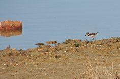 Killdeer ©Steve Frye. Wild Bird Company - Boulder, CO. Saturday Morning Bird Walk in Boulder County - May 2, 2015.