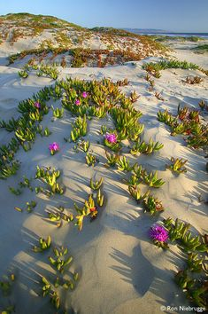 Pismo Beach, San Luis Obispo, California sand dunes with Sea Fig  (Carpobrotus chilensis) by Ron Niebrugge
