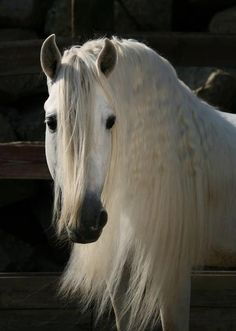 different and cool horses Wishing on We Heart It : The amazing Andalusian Most Beautiful Animals, Beautiful Horses, Beautiful Creatures, Horse Mane, Andalusian Horse, Buckskin Horses, Horse Horse, Majestic Horse, All The Pretty Horses
