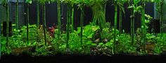 """""""Bamboo forest"""" planted tank."""