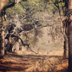 A Rhodesian Forest
