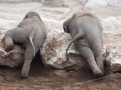 Baby Elephants climbing over rocks
