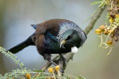 The tui was by far the most popular bird species on New Zealand Birds Online in the first year after its launch. Image: Craig McKenzie, New . Sea Birds, Love Birds, Beautiful Birds, Beautiful Pictures, Tui Bird, Abel Tasman National Park, Birds Online, Urban Park, Nature Journal