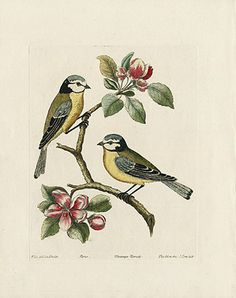 Albin Bleu head Tom titt, Mesange Nonete, Blue Tit USD $265 Original Albin Song Birds, Perching Birds