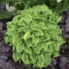 Hosta 'Wrinkle in Time' - Hostas  - Plants - Shop