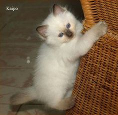 Chocolatepoint Ragdoll Kitten Kaipo 7 weeks old <3