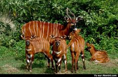 """Four bongo calves photographed here with a """"nanny"""": All will be released into the wild near Mount Kenya. The bongo (Tragelaphus eurycerus) is a herbivorous, mostly nocturnal forest ungulate; it is among the largest of the African forest antelope species. African Animals, African Safari, Cute Baby Animals, Wild Animals, My Animal, Pet Birds, Animal Kingdom, Animals Beautiful, Mammals"""