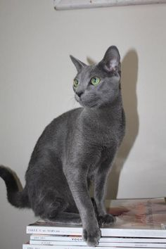 Russian Blue - Reminds me of Starry
